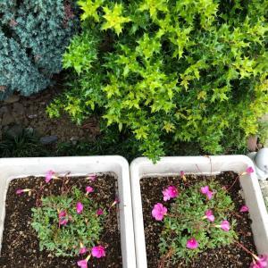 冬に咲く花「オキザリス🌸」鮮やかなピンクと緑の葉のコントラスト💞