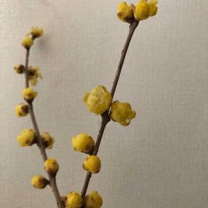 ロウバイの香りに癒されます「春のお届け物です🌸」&純生食パンごちそうさま(*^▽^*)