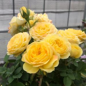 バラは満開!