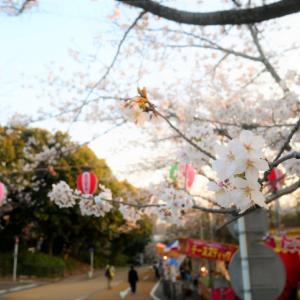 福岡 西公園の桜ライトアップの時間は?桜祭り時期は場所取り必須?
