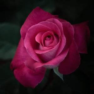【短編】夜に咲く薔薇