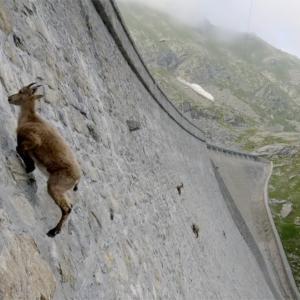 【この動画、すごい!】アイベックス 垂直岩壁クライマーのアルプスの王者