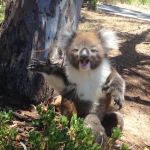 【この動画かわいい!】コアラ 縄張り争い、顔に似合わず意外と激しいよ
