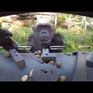 【この動画かわいい!】必見! 類人猿の頭の良さが2分8秒でわかるよ