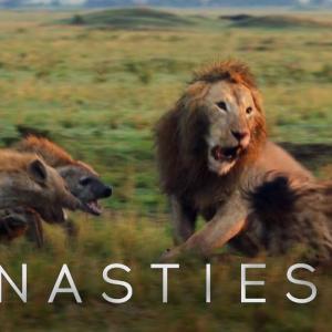【この動画、すごい!】ライオン ギャングに囲まれていたら救世主が来たよ