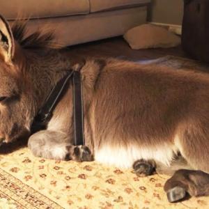【この動画かわいい!】小さなロバのティム君は犬といっしょに室内飼いだよ