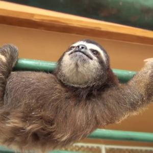 【この動画かわいい!】ナマケモノ|ジャングルのスローライフは命がけだよ