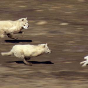 【この動画、すごい!】オオカミ|北の大地で時速60キロのチームプレー!