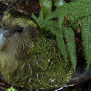 【この動画かわいい!】カカポ|ニュージーランドの飛べないオウムは人気者