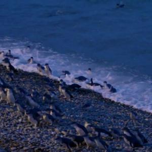 【この動画かわいい!】コガタペンギン|世界最小、暗くなると帰ってくるよ