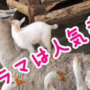 【この動画かわいい!】ラマと子ヤギ|動物のシェアハウスみたいな牧場だよ