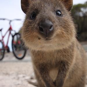 【この動画かわいい!】クオッカ|小さなカンガルーは世界一幸せな動物!!