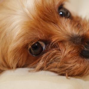ヨークシャーテリアの特徴や魅力、飼い方について