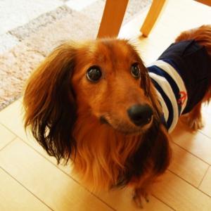 犬に服を着せる着せない論争!是か非か意見は大きく分かれる