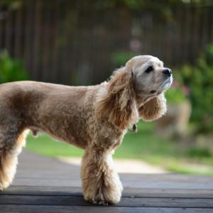 アメリカンコッカースパニエルの特徴や魅力、飼い方について