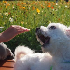犬はなぜ吠えるのか?その理由と辞めさせる方法!ドッグトレーナーケンセイの見解