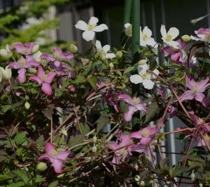 クレマチスモンタナの咲く頃。