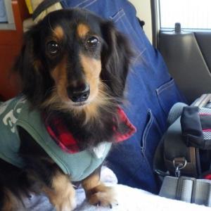 旅犬知恵が永遠の旅立ち。(っω・`。)