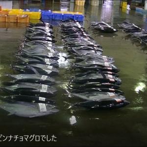 大王崎波切の魚市場では#ビンチョマグロの水揚でした