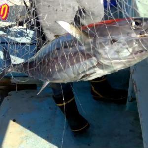 マジか高級魚続出 三重県