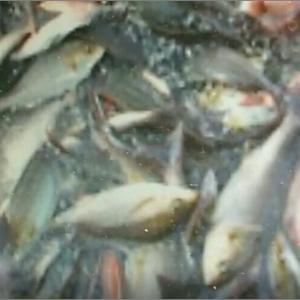 三重県波切港 マダ、イサギ釣り 爆釣
