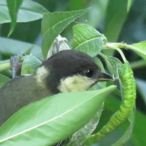フリー素材・シジュウカラの幼鳥