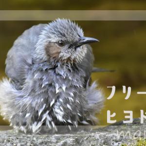 フリー素材・ヒヨドリの写真