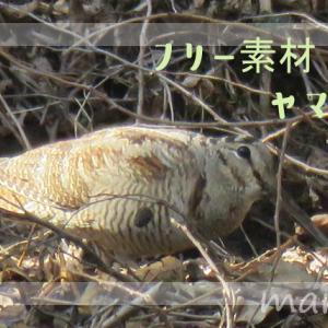 フリー素材・ヤマシギの写真