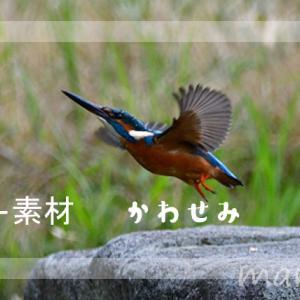 フリー素材・カワセミの写真
