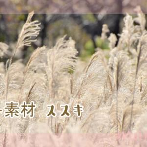 フリー素材・ススキの写真