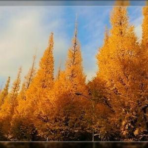 晩秋から初冬へ?銀杏並木