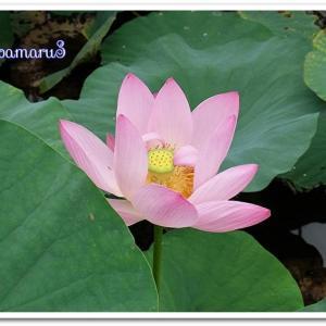 都立水元公園・・・やっと会えたハスの花(^^♪