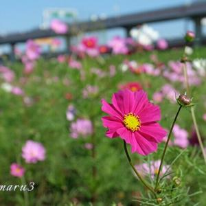 河川敷に咲くコスモス