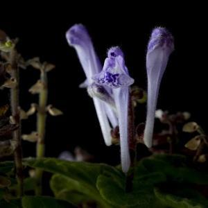 Scutellaria indica var. parvifolia(コバノタツナミソウ)