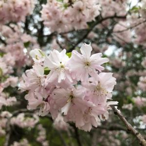 つぼみふくらみ、花は咲く