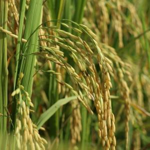 【ゲーム】年末年始は稲作に勤しみました!【サクナヒメ】