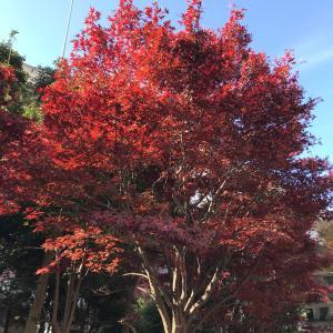赤坂御所近辺の紅葉と神宮のイチョウ並木