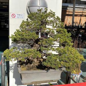 東武デパートの北海道展と盆栽