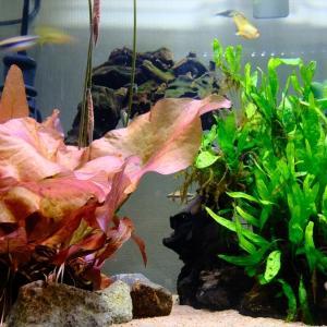 映える葉姿ニムファの圧倒的存在感と圧倒的水質浄化能力