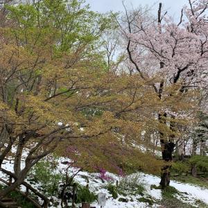 桜と雪と新緑と