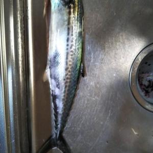 19gのメタルマルでサゴシが釣れました。