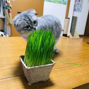 初めての猫草。猫草はいつからあげるの?