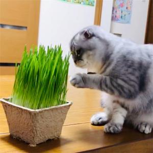 よみがえれ猫草!猫草の再生法?