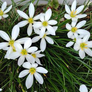 ゼフィランサス タマスダレが咲いてました