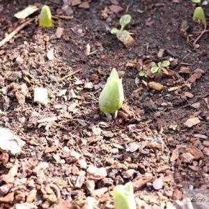 南仏ではチューリップの芽がもう出ています!