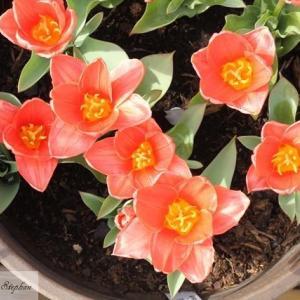 チューリップ2種が開花しました!