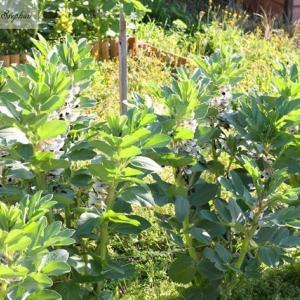 秋植えそら豆の収穫