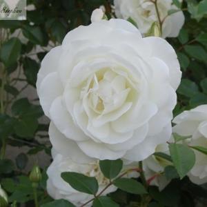 我が家の白い薔薇たち12種(後半)+おまけ