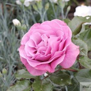 我が家の紫系の薔薇2種(ボッシュエ・エイグル・ドゥ・モー、ミステリゥーズ)