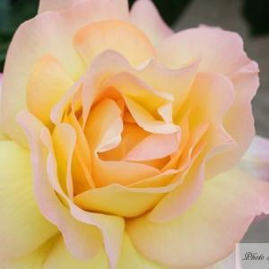 我が家の黄色い薔薇7種(シラノ・ドゥ・ベルジェラック、アニー・デュプレイetc)
